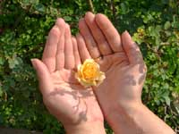 A rose on hands