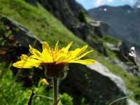 alps_flower