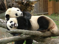 panda_hug