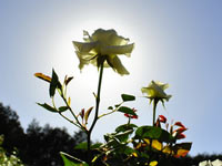 rose_flower